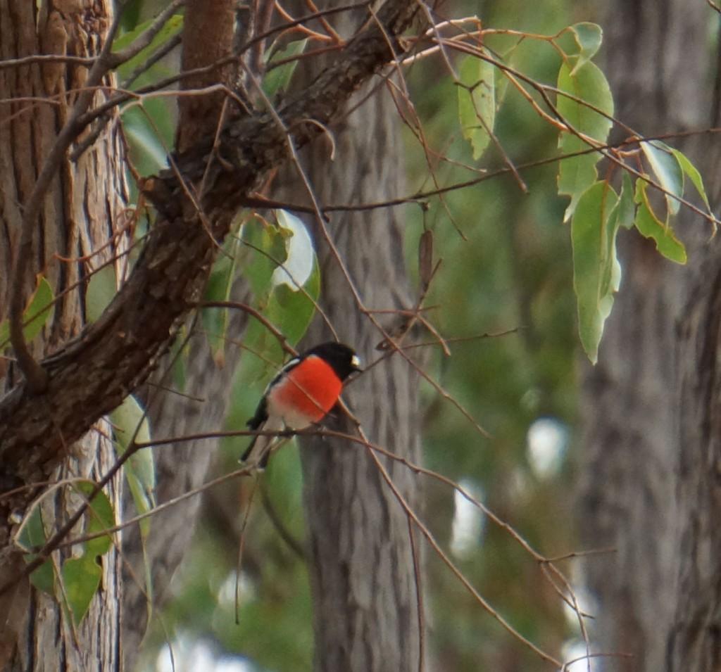 scarlet robin2